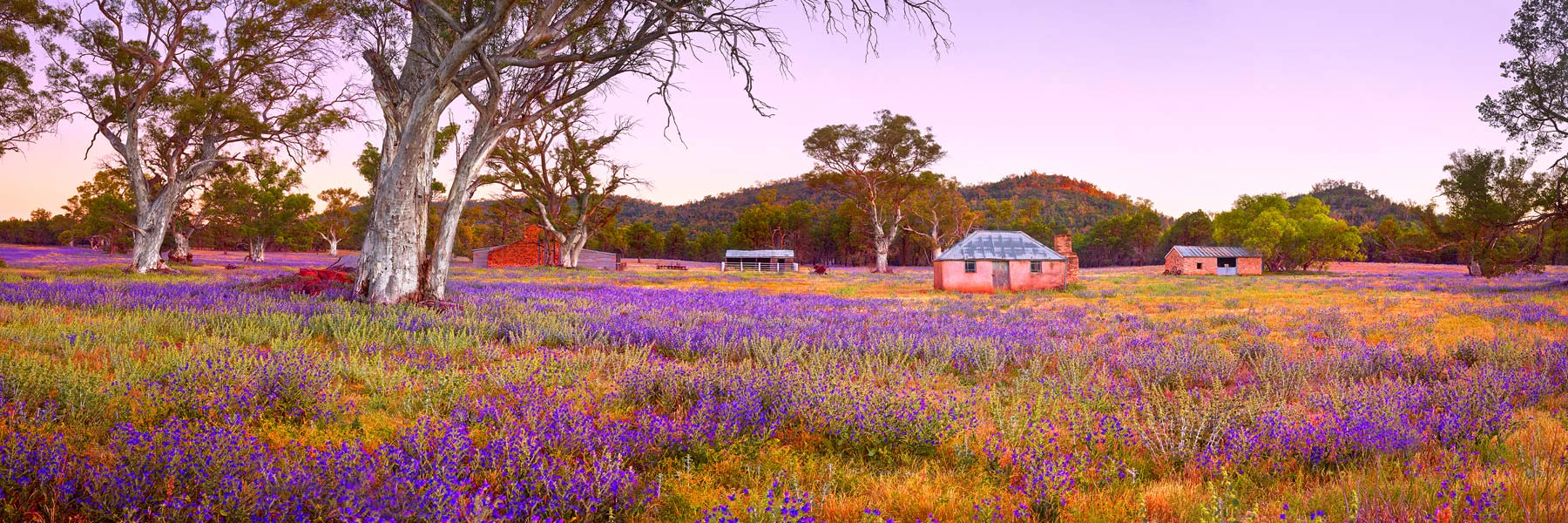 Pastel sunset over the ruins of Old Wilpena Station, South Australia, with a carpet of wildflowers in the foreground.