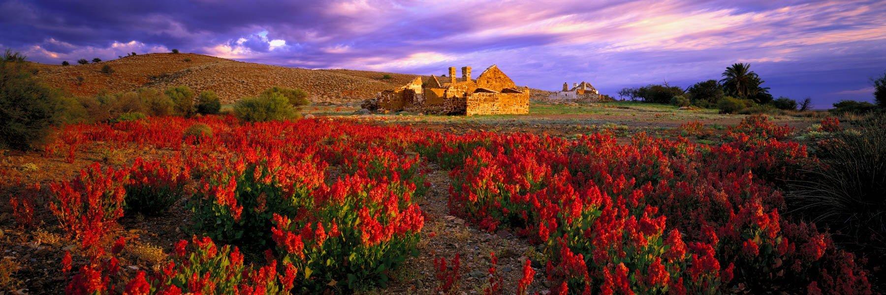 Wildflowers in front of the ruins of Peake Homestead, SA, Australia.