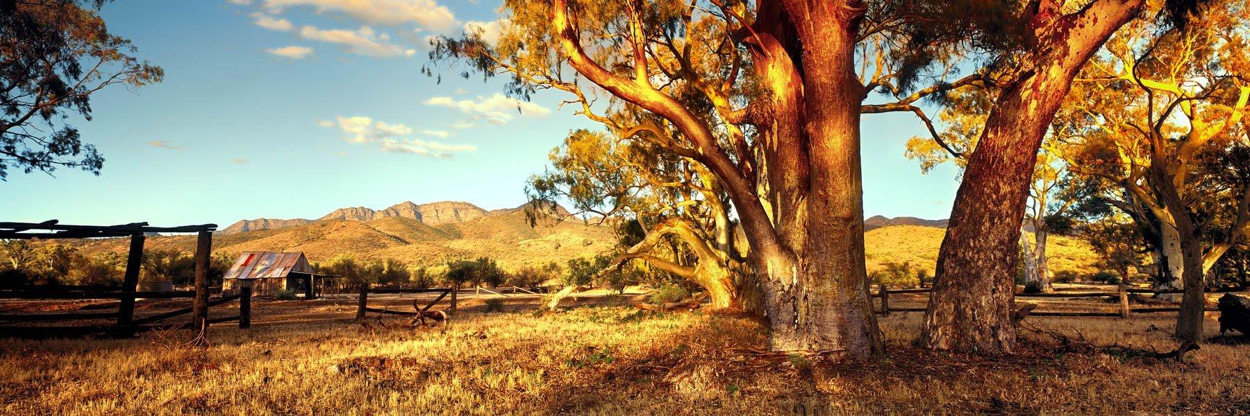 Golden light on river gums in the Flinders Ranges, SA, Australia.