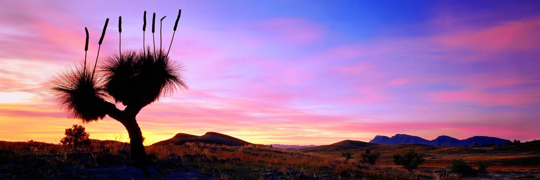 Grass tree silhouetted agains the morning sky, Flinders Ranges, SA, Australia.