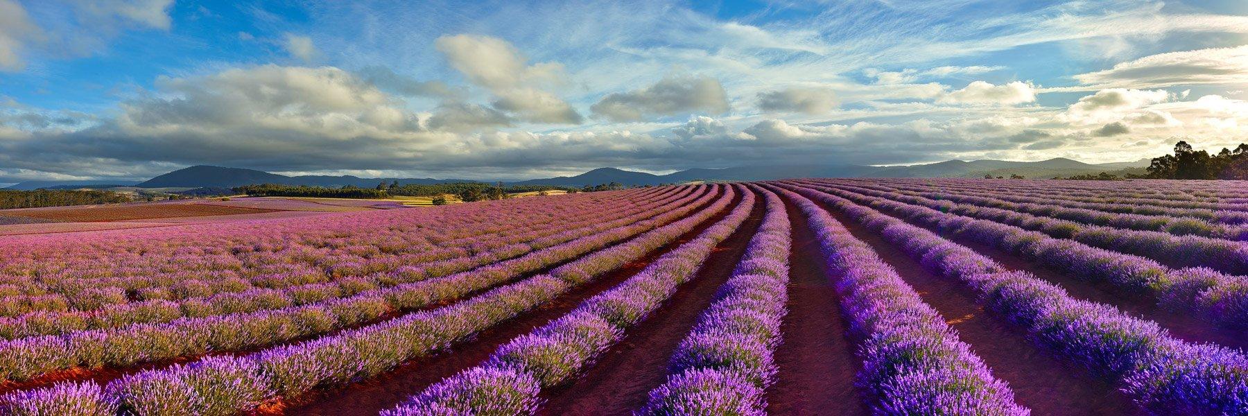 A glorious field of purple lavender in bloom, Tasmania, Australia.