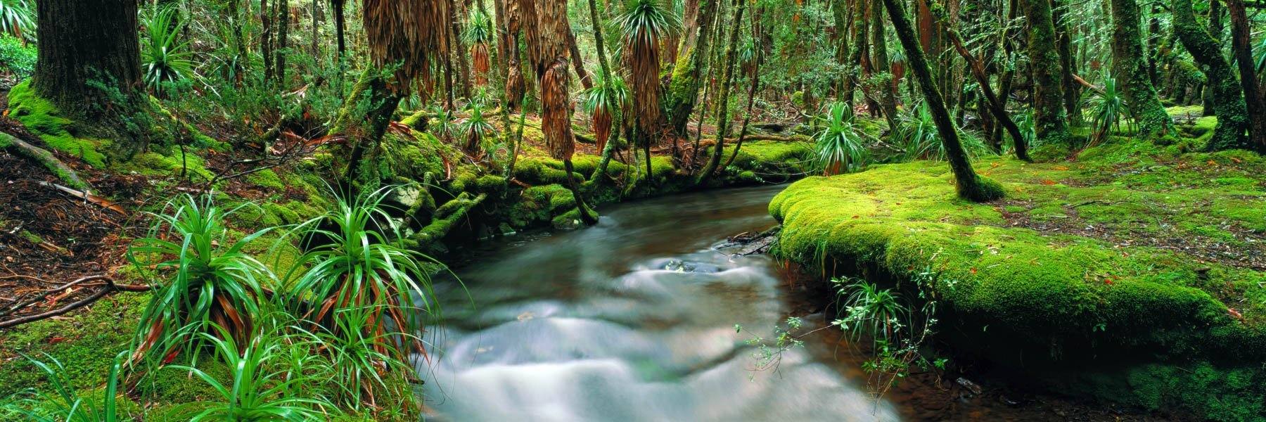 A gentle stream cutting through heavily mossed banks and tree trunks, Pine Valley, Tasmania, Australia.