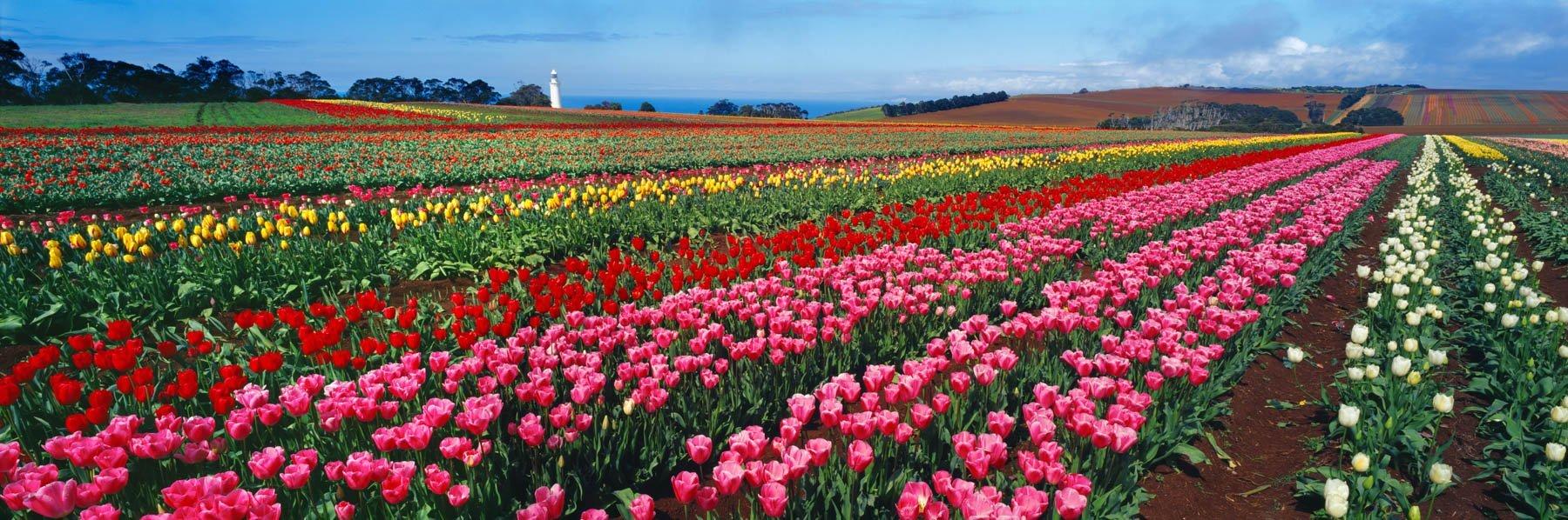 Colourful field of tulips, Wynyard, Tasmania, Australia.