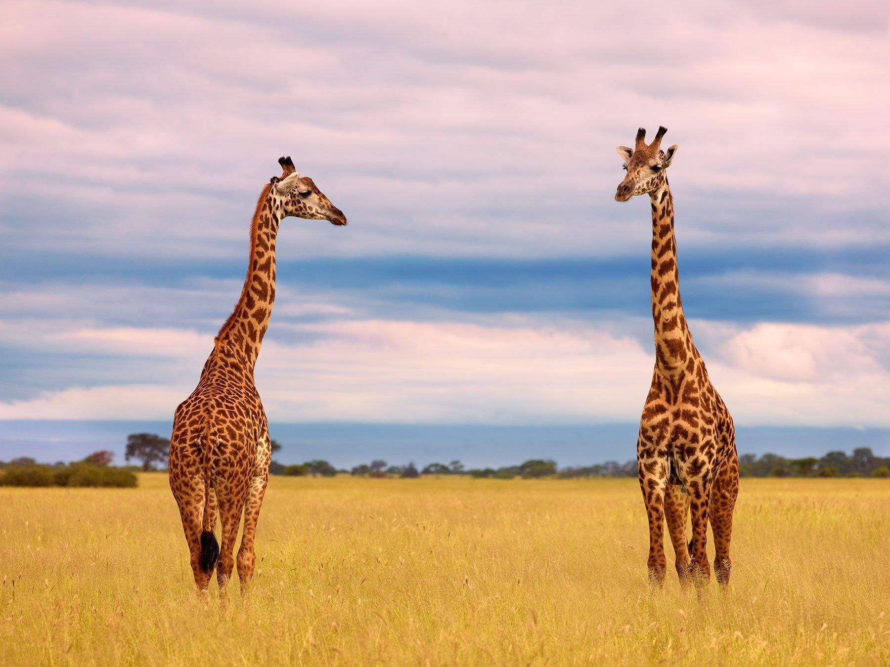 Two giraffes on the Serengetti plain, Tanzania, Africa.