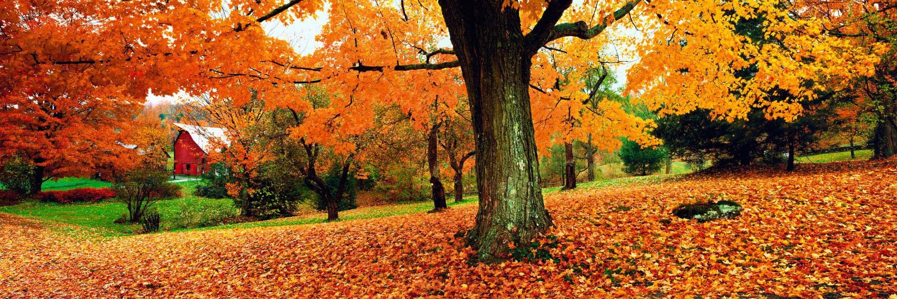 Autumn leaves, forming a rich red and gold carpet beneath the trees in Vermont, USA.