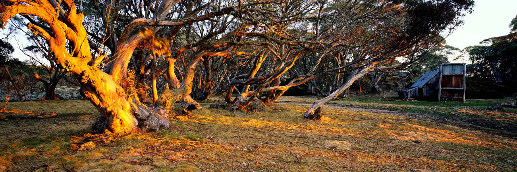Golden afternoon light playing across the snow gums near Wallace Hut, Victoria, Australia.