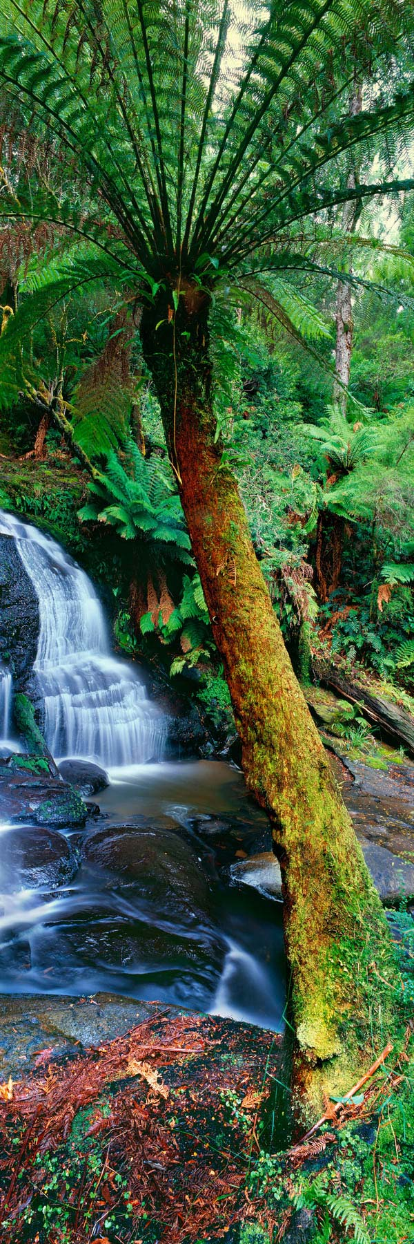 Giant tree fern beside a waterfall, Otway State Forest, Victoria, Australia.