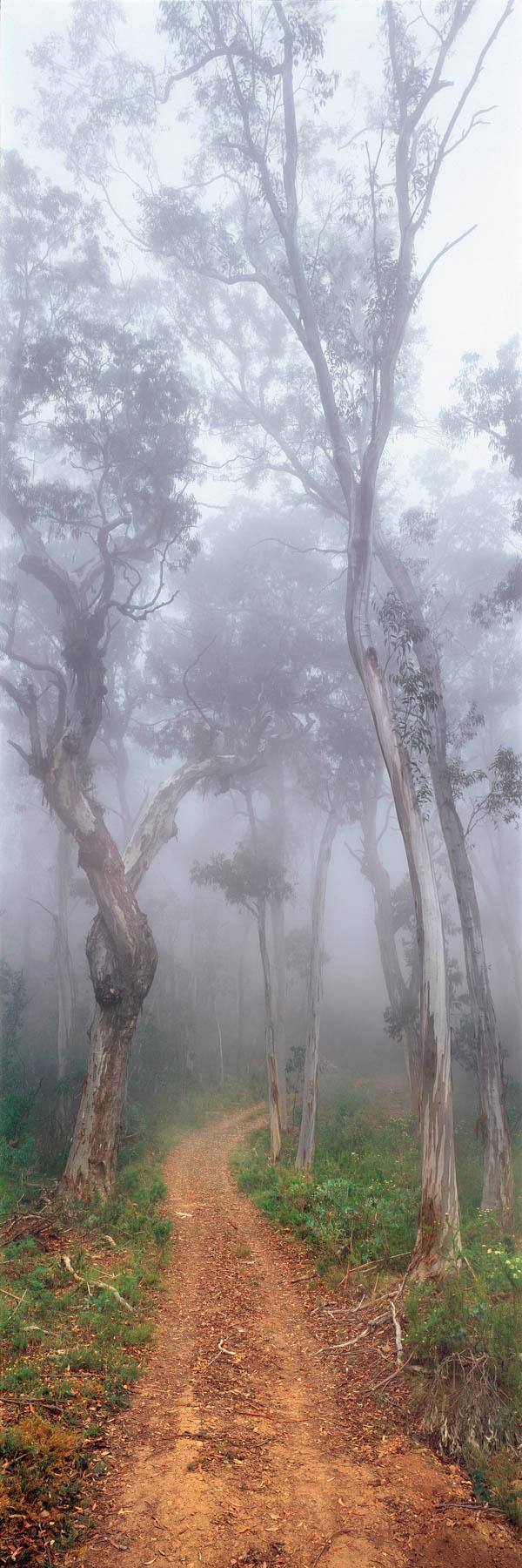 Snow Gums shrouded in mist beside a dirt track, Victoria, Australia.