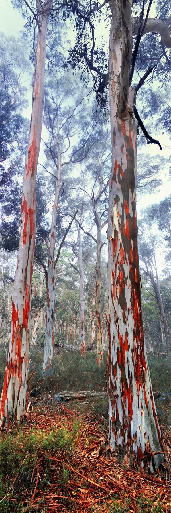 A touch of mist plays with the tree-tops in this dreamy view of a snow gum forest in Victoria's Alpine National Park, Australia.