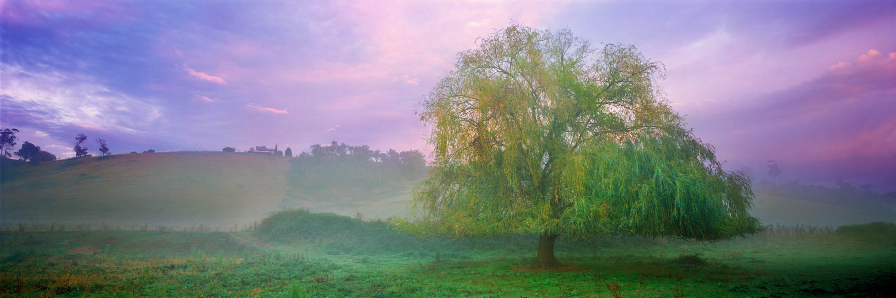 Early morning mist swirling around a weeping willow, Yarra Valley, Victoria, Australia.