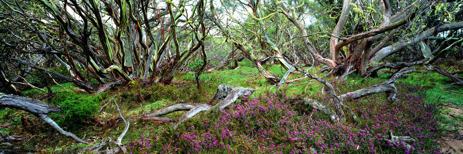Snow gums and wild flowers in Alpine National Park, Victoria, Australia.