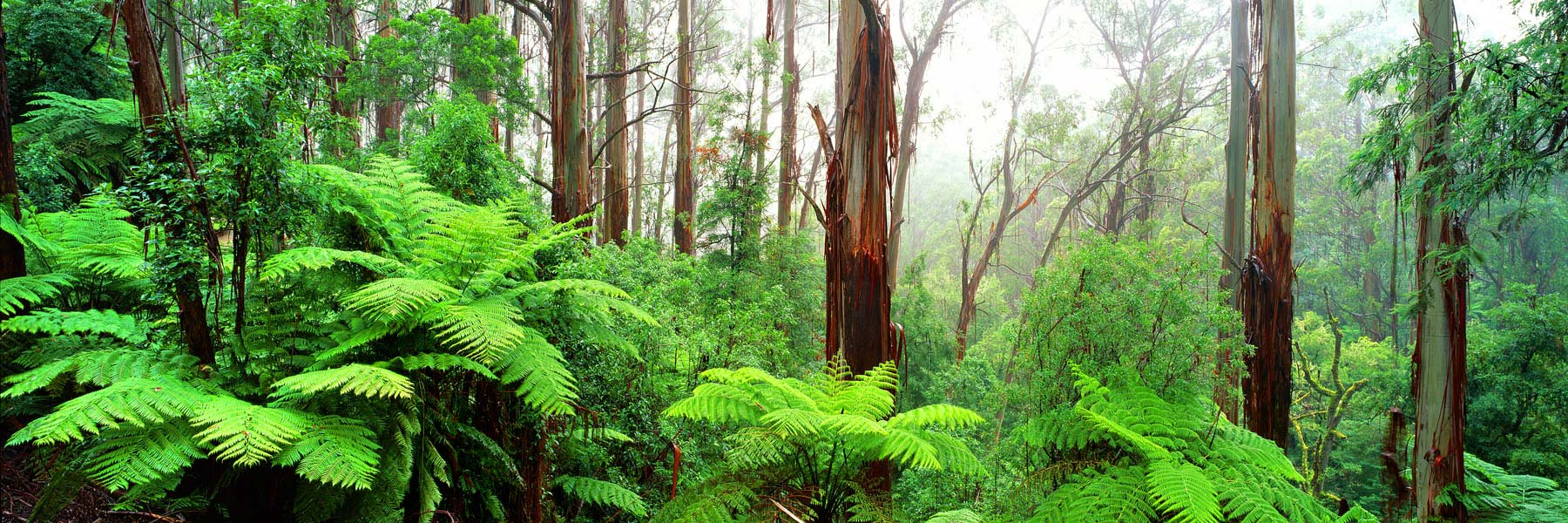 Mountain Ash trees and giant ferns surrounded by mist, Strzelecki Ranges, Vicroria, Australia.