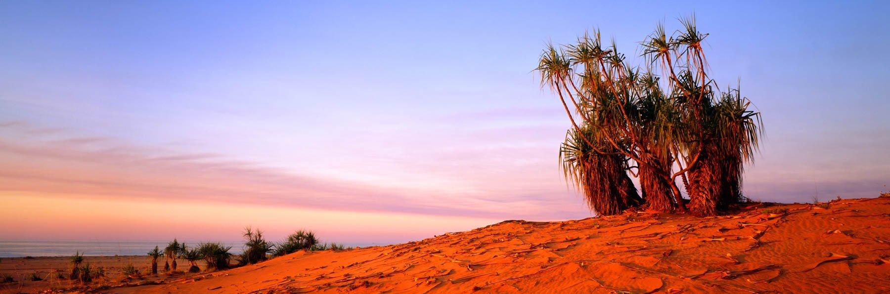 Pandanus palms standing like sentinels on red sand dunes at Cape Leveque, Kimberleys, WA, Australia.
