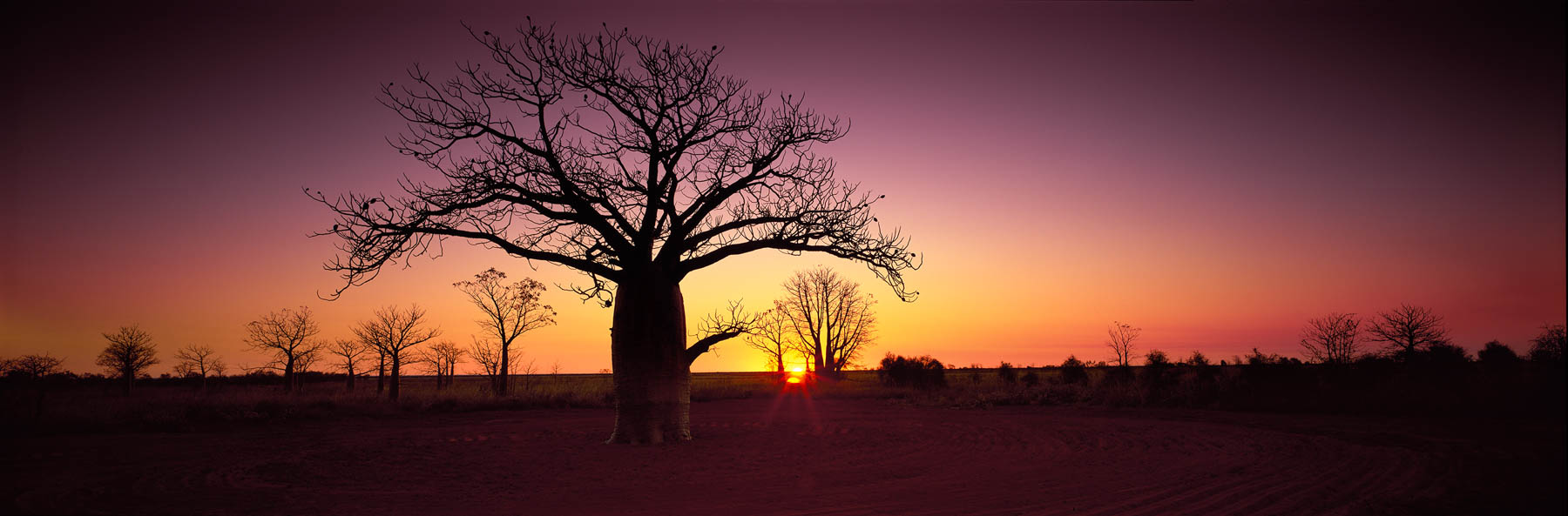 Boab trees silhouetted against a glowing purple sunset near Derby airport, WA, Australia.