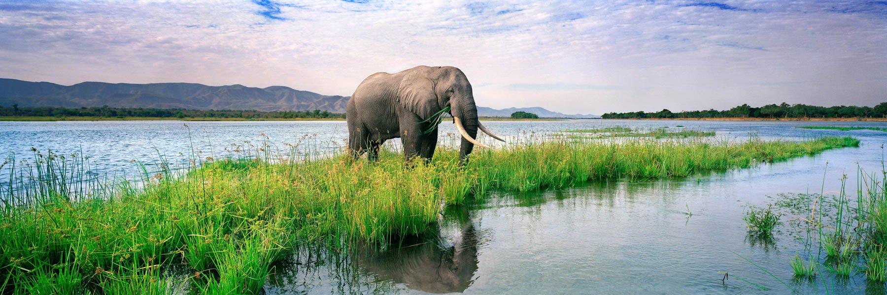 Bull elephant grazing on a grass island in the Zambezi River, Zimbabwe.
