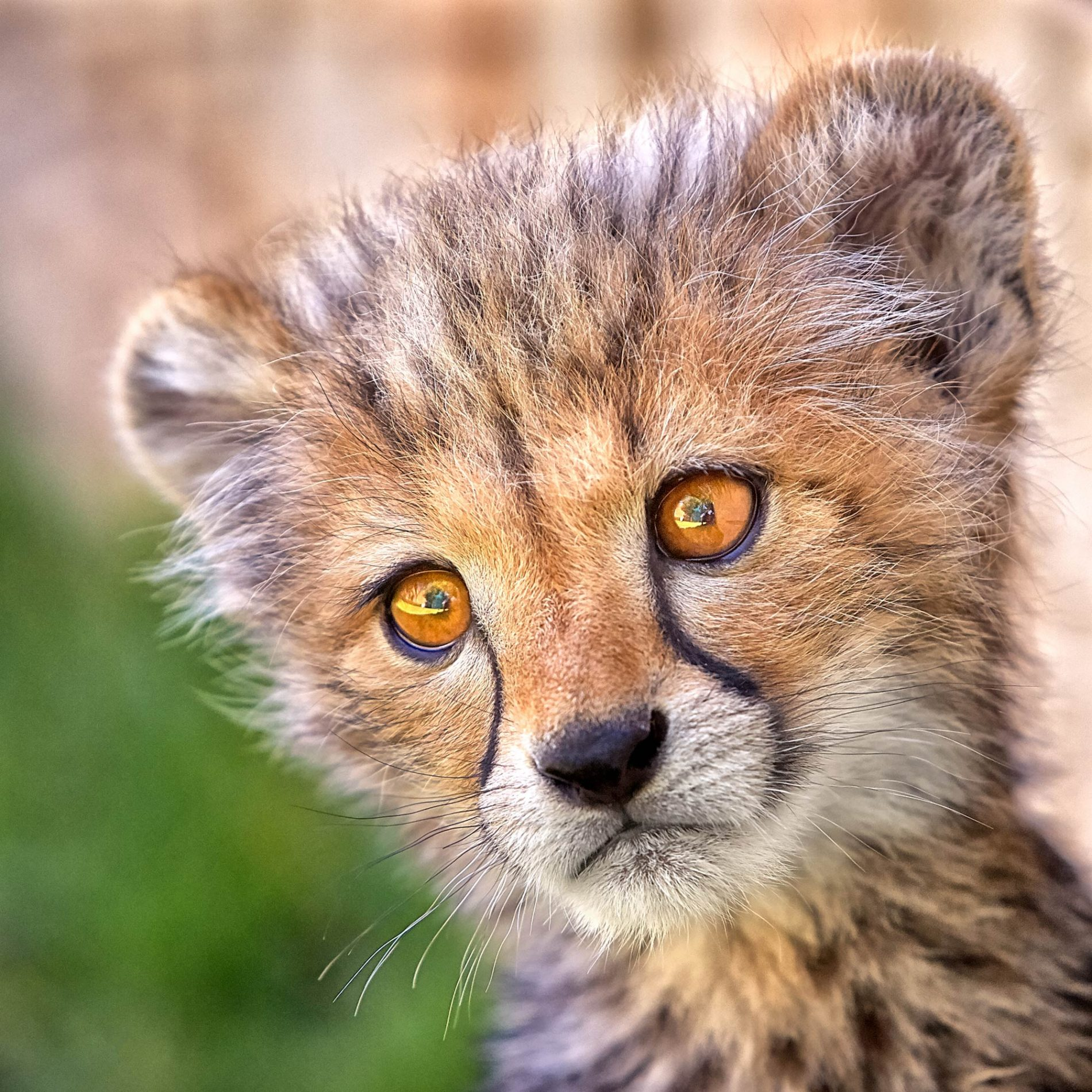 A baby Cheetah Innocence