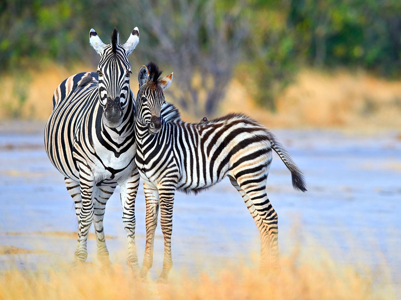 Zebra mother and colt, Botswana, Africa.