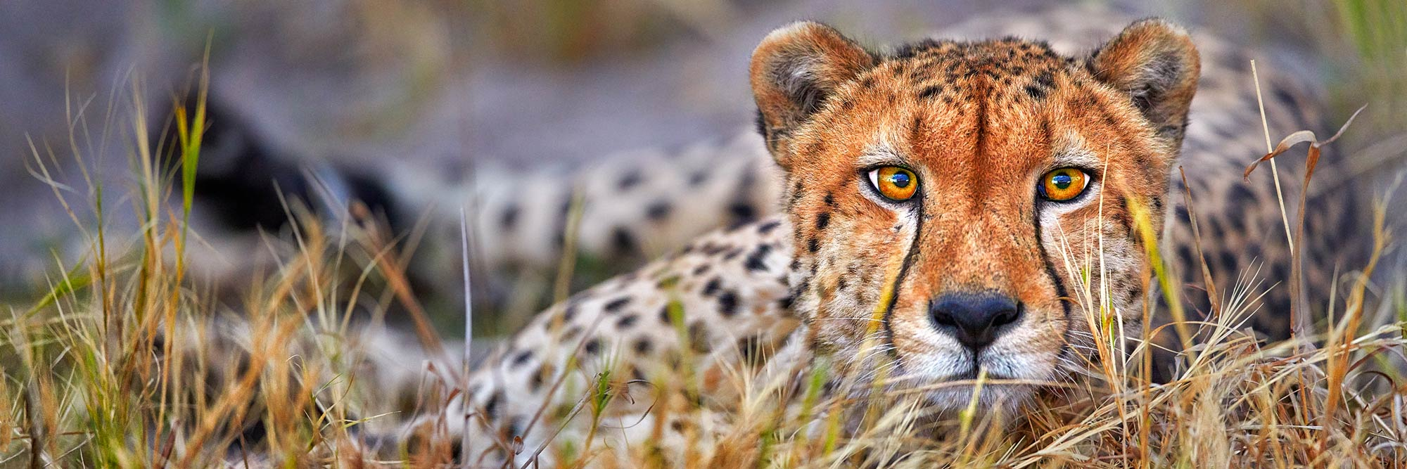 A Cheetah Staring directly into camera