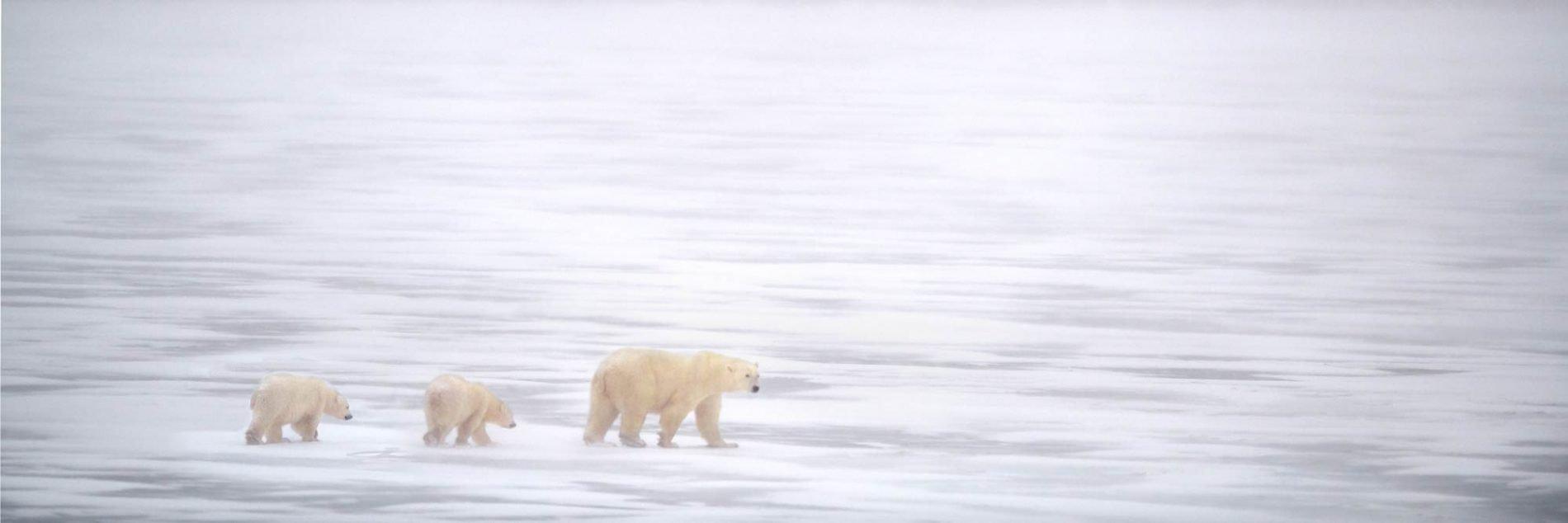 Polar Bears Facing The Storm