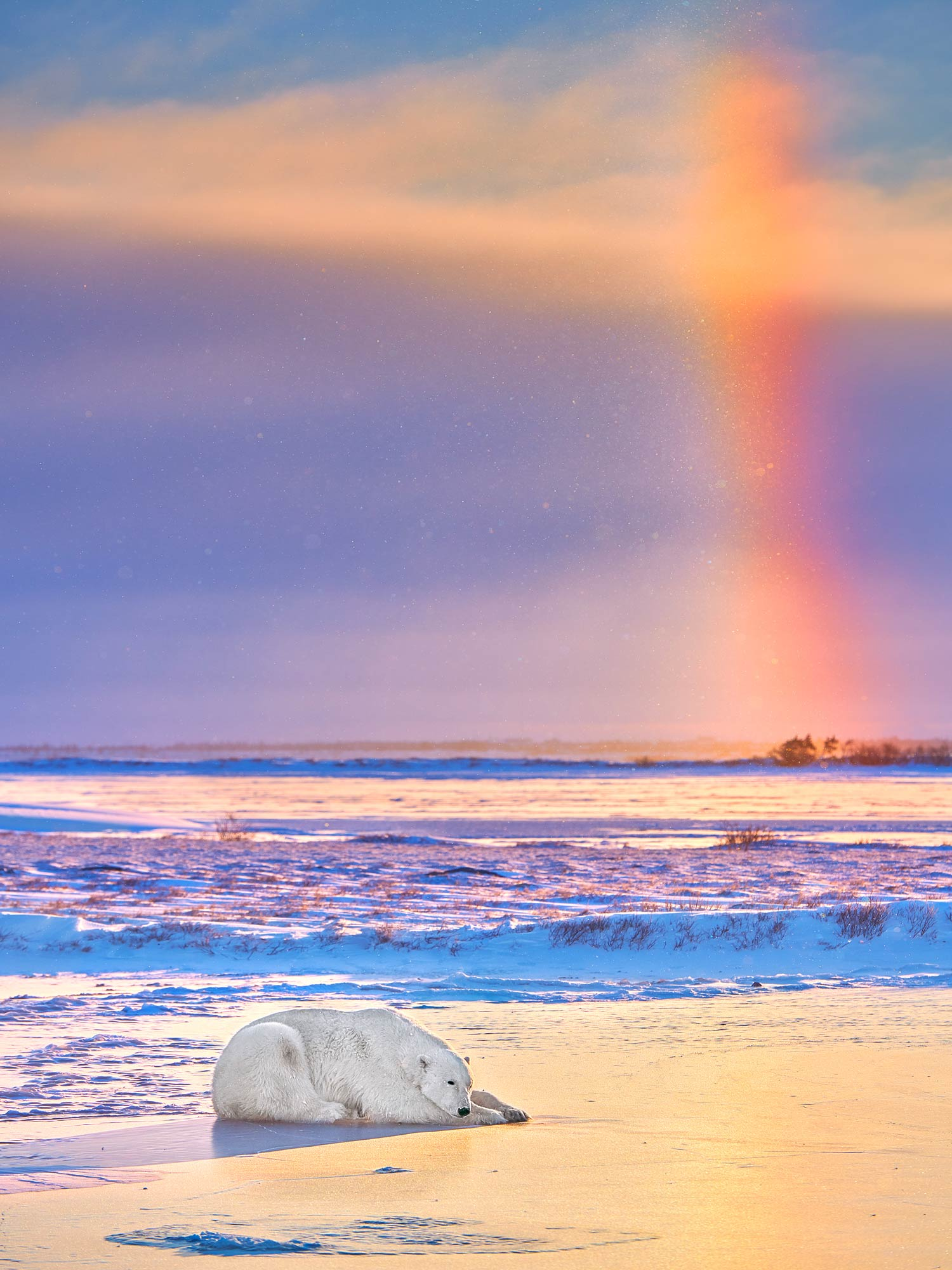 A polar bear laying in front of a rainbow