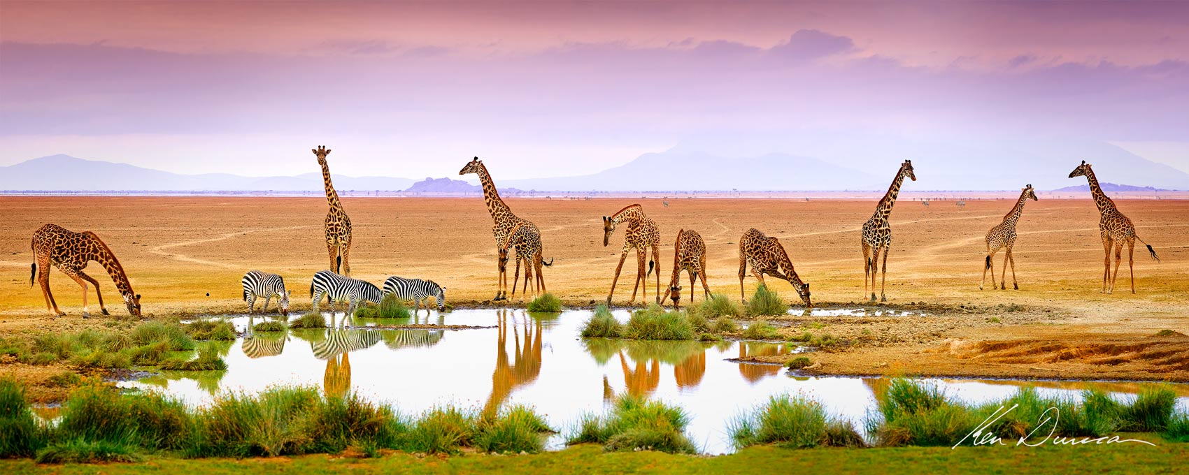 A small group of Giraffe and Zebra drink at a rare beautiful waterhole in Kenya