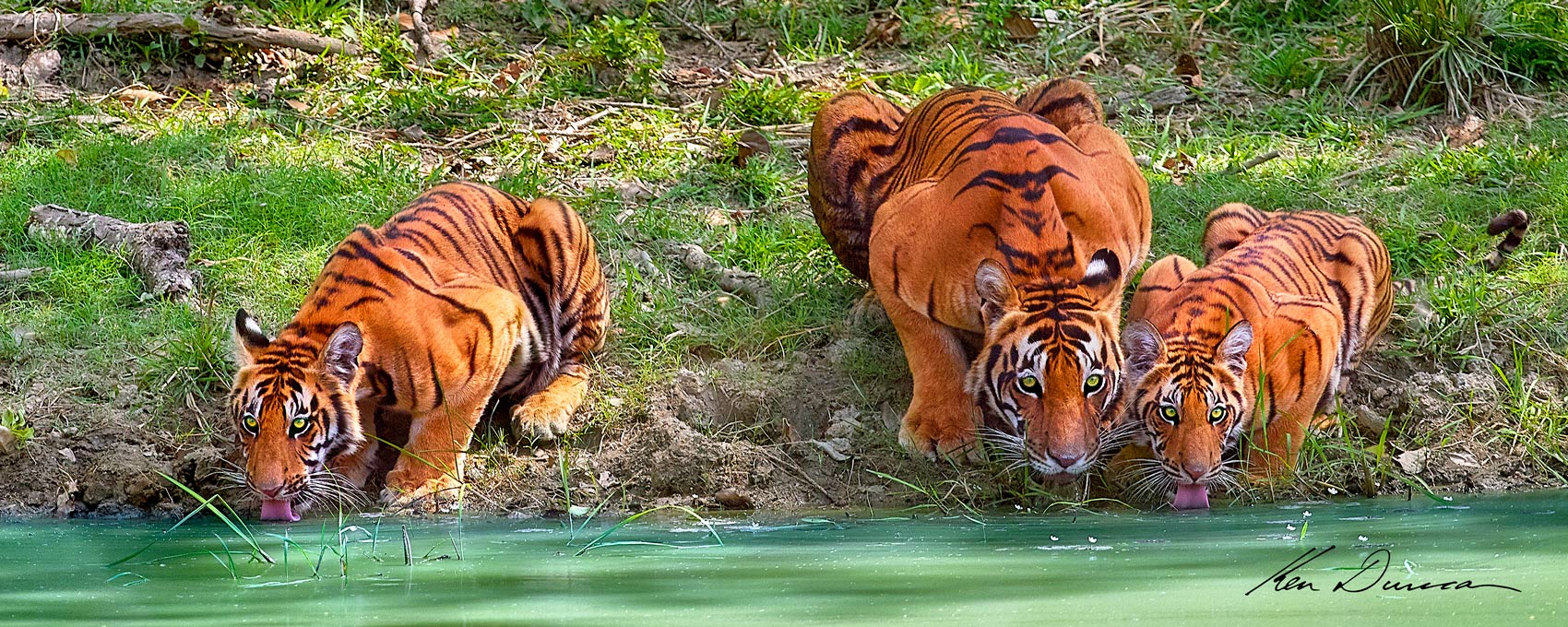 A mother tiger and her two cubs drinking by a waterhole. The mother keeps a guarded eye watching at all times