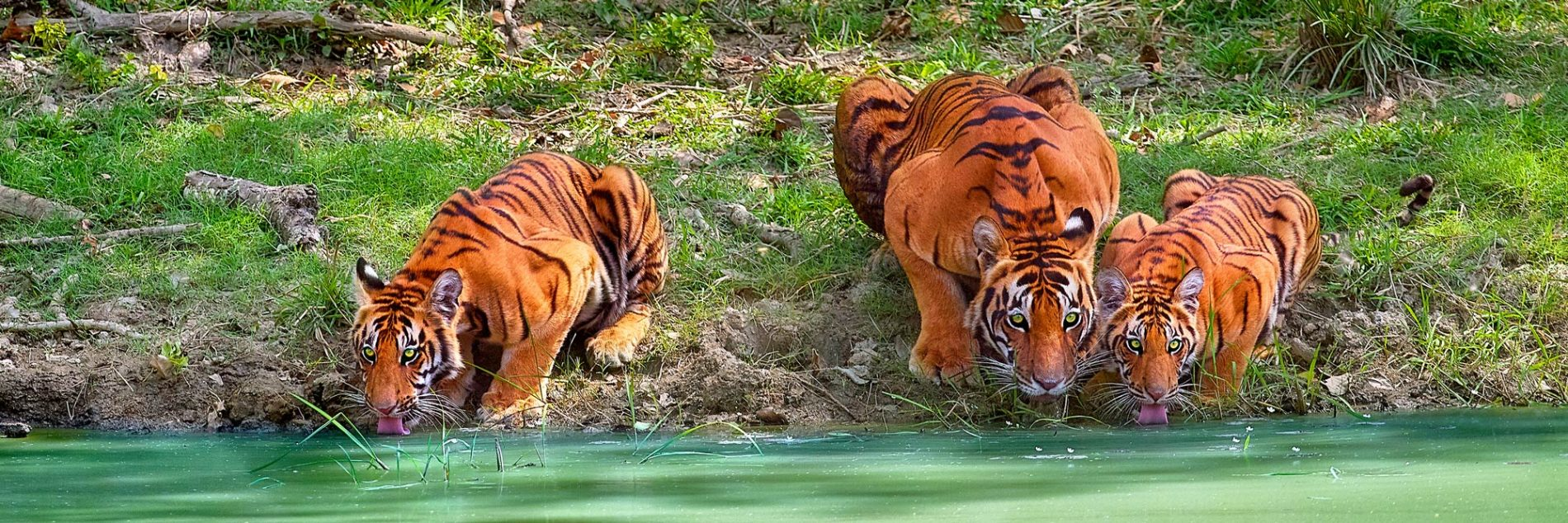 A mother tiger keeps guard while her cubs drinks from the waterhole