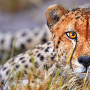 Close up of a Cheetah's stare - Intensity
