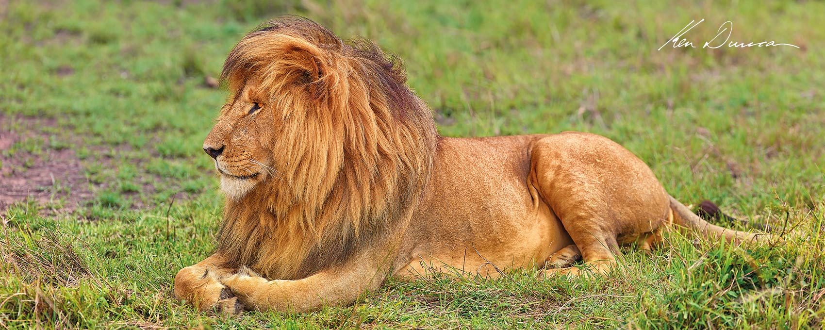A healthy male Lion lays on the lush green grass just watching and waiting for opportunities