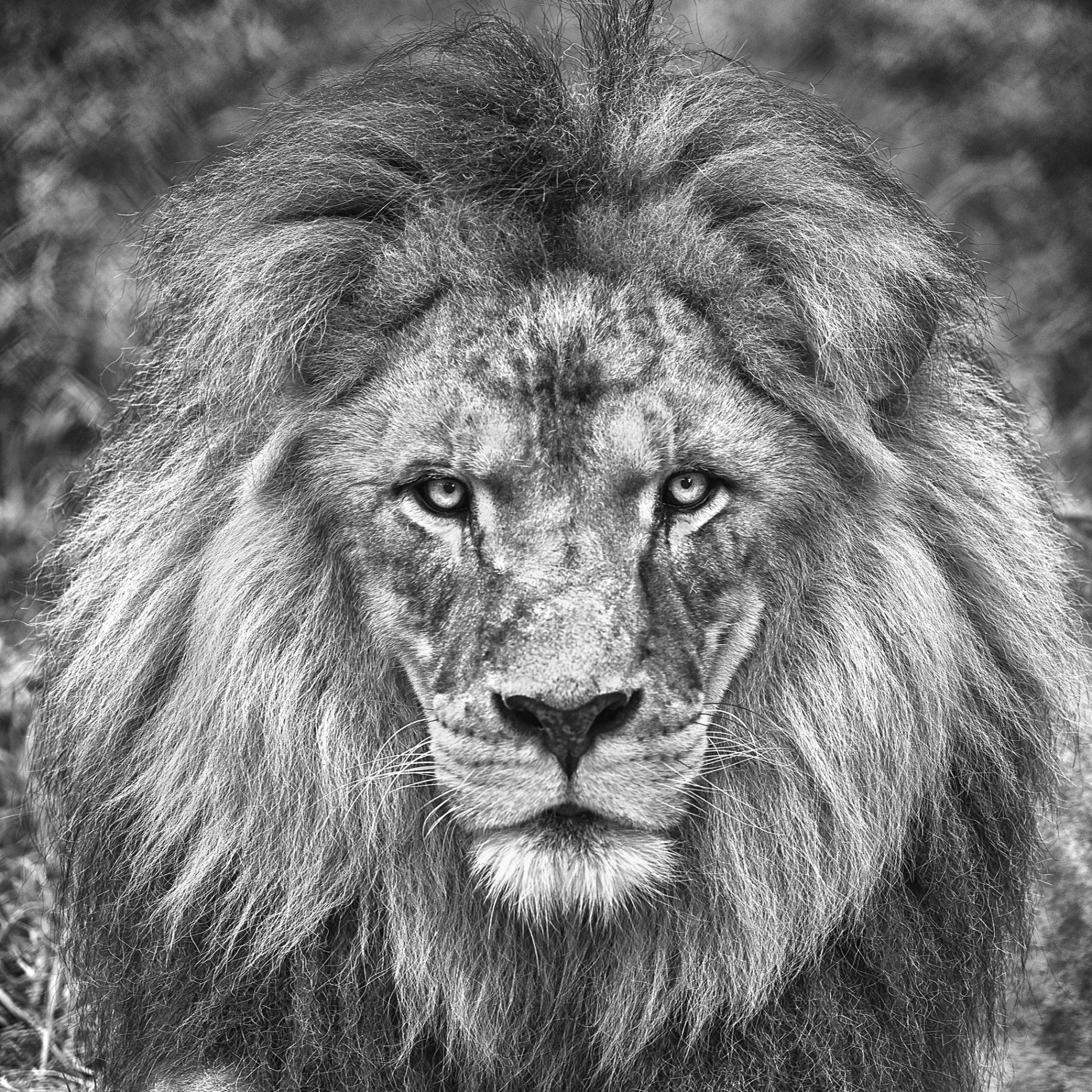 A Male lion staring direct into camera in black and white