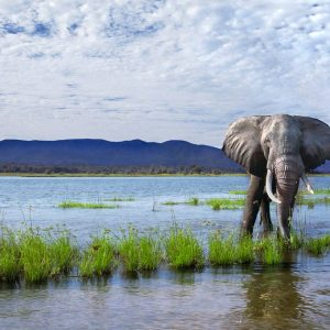 A huge male bull Elephant charges forward across some green wetlands towards camera