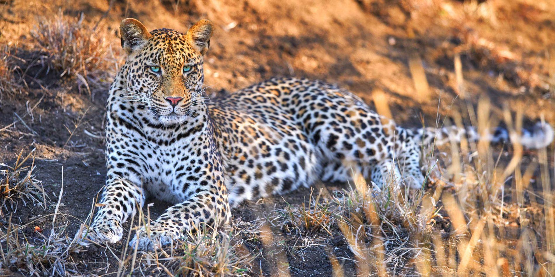 A blue eyed leopard
