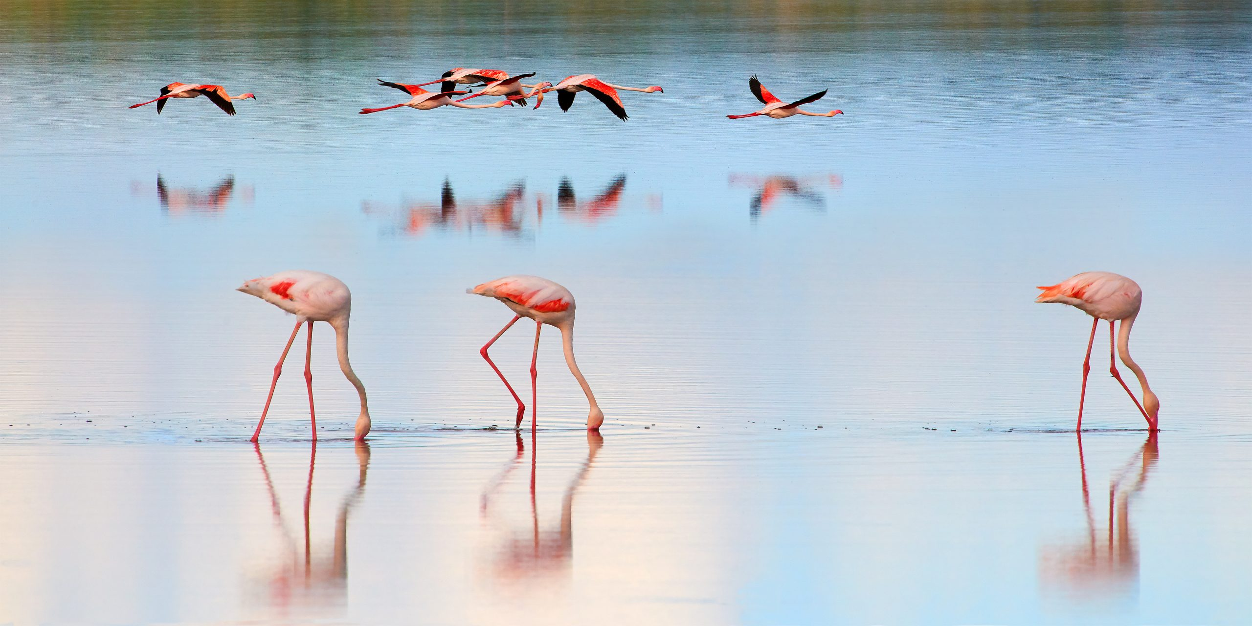 Flamingo's at twilight, some at flight and some feeding