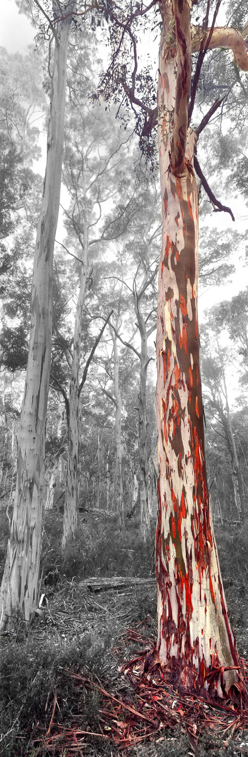 A touch of mist playing with the tree-tops in this dreamy, digitally altered view of a snow gum forest in Victoria's Alpine National Park, Australia.